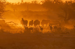 Zebras and springbok walking into a dusty sunset Stock Image