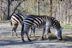 Two zebras stand and eat dry hay on the ulmce Royalty Free Stock Photos