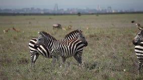 Two zebras in savanna. Zebras stand in savanna. Nairobi stock video footage