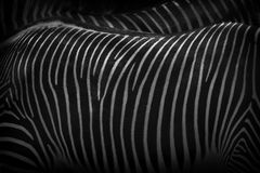 Zebras standing close together illustrate the patterning used to protect them against predators Royalty Free Stock Image
