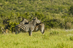 Zebras standing in long green grass Stock Image