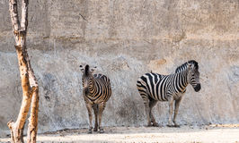 Zebras standing in shade of cliff Stock Photos