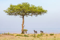 Zebras standing in the shade. Under a tree Stock Images