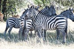 Zebras standing together in Serengeti, Tanzania Stock Photo