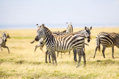 Zebras standing at the vast plains in Serengeti Royalty Free Stock Photography