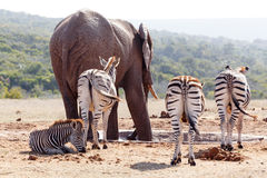 Zebras standing and waiting at the dam Royalty Free Stock Photo