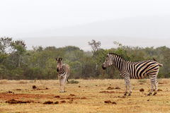 Zebras standing and waiting at the dam Stock Photography