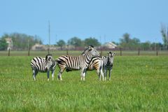 "Zebras in the steppe in the Falz-Fein Biosphere Reserve ""Askania Nova"", Ukraine. royalty free stock photos"