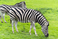 Zebras. Striped zebras grazing on grass Stock Image
