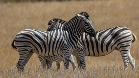 The Zebras Stock Images