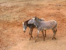 Zebras talking shop Stock Images