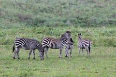 Zebras, Tansania stockfotografie