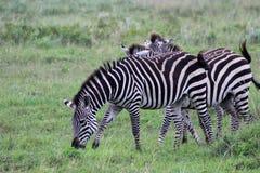 Zebras, Tanzânia Imagens de Stock Royalty Free