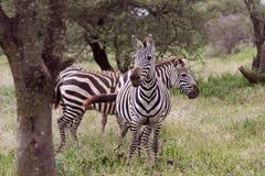 Zebras in Tanzania Stock Afbeelding