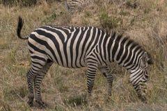 Zebras, Tanzania stock afbeelding