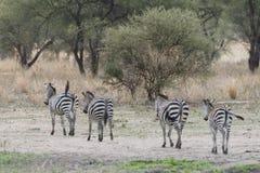 Zebras, Tanzania stock foto