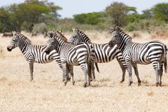 Zebras, Tanzania, Africa, standing together in Serengeti stock photo