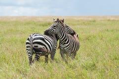 Zebras, Tanzania, Afrika Royalty-vrije Stock Foto's