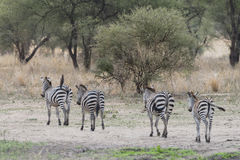 Zebras,  Tanzania Stock Photo