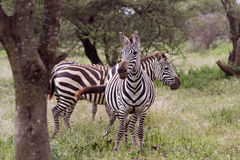 Zebras in Tanzania. Two Zebras on the lookout in the Serengeti Stock Image
