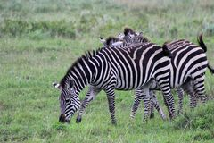 Zebras, Tanzania royalty free stock images