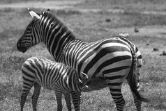 Zebras in Tanzania Stock Photos