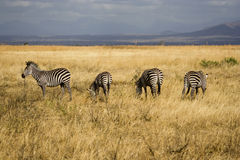Zebras in Tanzanian National Park Stock Image