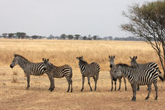 Zebras in Tarangire National Park Royalty Free Stock Image