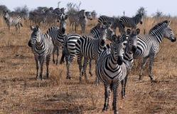 Zebras Stock Photography