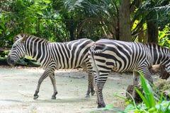 Zebras terwijl het eten Royalty-vrije Stock Foto's