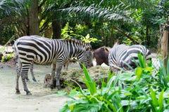 Zebras terwijl het eten Stock Foto's