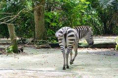 Zebras terwijl het eten Stock Afbeelding