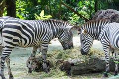 Zebras terwijl het eten Royalty-vrije Stock Afbeelding