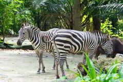 Zebras terwijl het eten Royalty-vrije Stock Foto