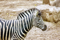 Zebras in their natural habitat. Royalty Free Stock Photos