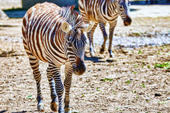 Zebras in their natural habitat. Royalty Free Stock Photography