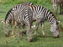 Zebras royalty free stock photo