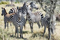 Zebras together in Serengeti, Tanzania Royalty Free Stock Photography
