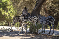Zebras together in the shade of a tree Royalty Free Stock Photo