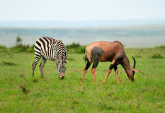 Zebras  and Topi Antelope (Damaliscus lunatus) Royalty Free Stock Images