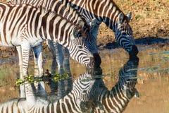 Zebras três cores bebendo do espelho Fotos de Stock Royalty Free
