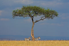 Zebras and tree in grassland Stock Photos