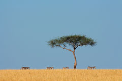 Zebras and tree Royalty Free Stock Images