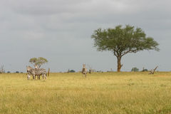 Zebras. On Tsavo East National park stock images