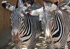 Zebras Royalty Free Stock Photos