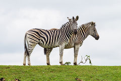 Zebras Two Outline. Two Zebra animals outline the white cloudy sky on a green bank Stock Photos