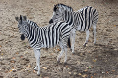 Zebras. Two pair of zebras standing in the zoo Royalty Free Stock Photos