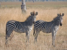 Zebras. Two Zebras posing nicely for the camera, photo taken in south Luangwa National Park, Zambia, Africa royalty free stock photo