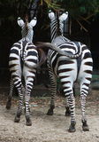 Zebras. Two zebras are swinging their tails stock image