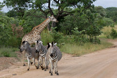 Zebras u. Giraffen Kruger Nationalpark, Afrika lizenzfreie stockfotos